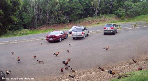Kauai wild chickens