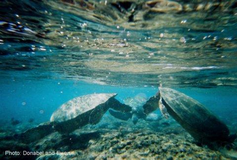 Ke'e Beach sea turtle